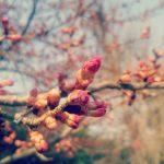 緋寒桜がもうすぐ。 法幢寺