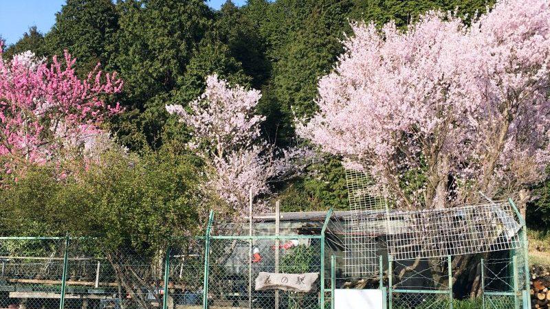 桜 花の駅