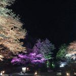 満開の桜をライトアップ。 かさがた温泉せせらぎの湯