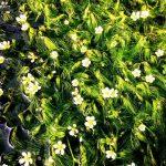 梅花藻 たくさん咲いていますよ | ホテルモンテローザ