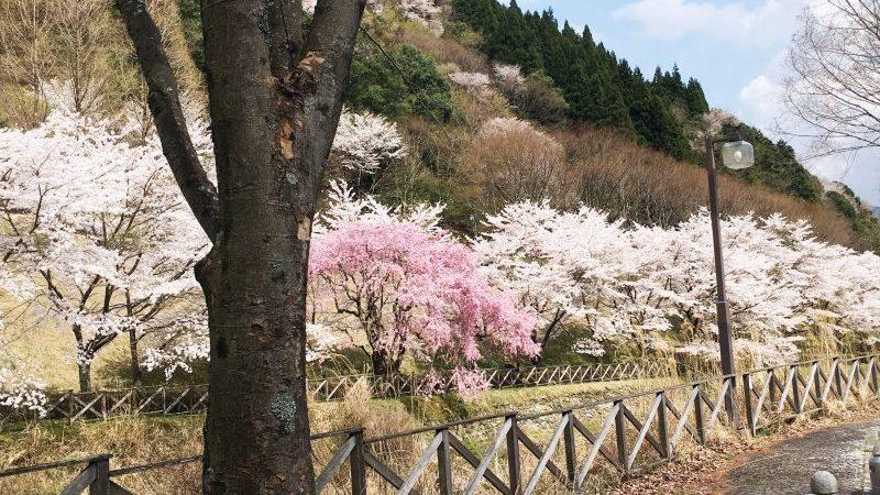 桜 エルビレッジ