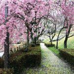 神崎郡(神河町・市川町・福崎町) 桜スポットを「まとめたい」 2019