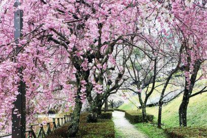 神崎郡(神河町・市川町・福崎町) 桜スポットをまとめたい