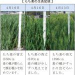 もち麦の生育は例年近くまで回復しました。 | 福崎町