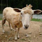 羊さんの頭の上に なにやら三本のたてがみが。 | ヨーデルの森