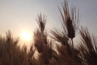 そろそろ刈り取りの時期。福崎町もち麦