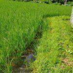 圃場の中干のため落水を始めました | 田舎暮らし・カクレ畑