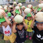 神崎保育園の園児が『銀馬車かぼちゃプロジェクト』の白皮カボチャを収穫