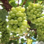 ふるさと納税返礼品に加門果樹園のブドウが登場