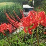 【ヒガンバナ】つきぬけて 天上の紺 曼珠沙華|地域の彼岸花スポットをまとめたい
