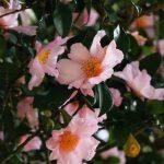 大通寺の山茶花が今年も見頃を迎えました | 市川町