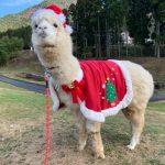 12/25までのアルパカ散歩はクリスマスバージョン | 神崎農村公園ヨーデルの森