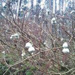 三叉の花のツボミが大きくなってきました。 | 神河町越知谷