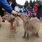 (開催されました)カピバラさんと恵方巻きを食べよう | 神崎農村公園ヨーデルの森
