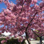 河津桜が見ごろ|福崎町辻川山公園