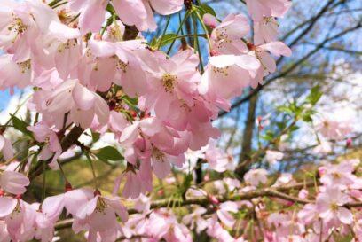【神河町】春到来。かみかわ桜の山「桜華園」240種・約3,000本のサクラ、さくら