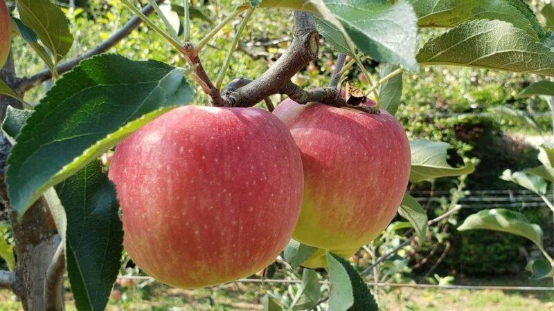 【宍粟市】原観光りんご園オープン 2020 16品種、約1100本のリンゴがつぎつぎ実る