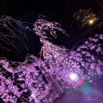 姫路城西御屋敷跡庭園 好古園で夜桜会が開催中。