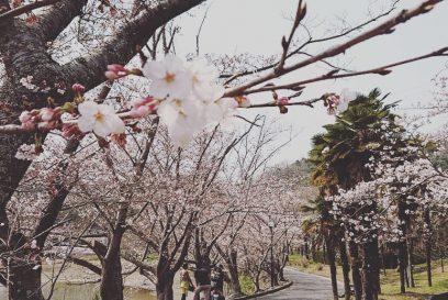 【加西市】桜 お花見スポット 万願寺川・法華口駅・普光寺