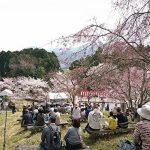 (開催されました)神河町桜華園 さくらまつり