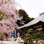小畑川沿い・石妙寺の桜は満開