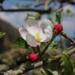 りんごの花が咲き始め 原観光りんご園