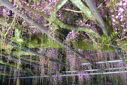 【宍粟市】大歳神社「千年藤」藤まつり 2021中止
