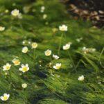 新野駅付近の水路では、清流ならではの梅花藻(バイカモ)が咲き始めています。