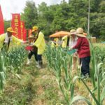 芽摘み体験が開催。忍辱(にんにく)で大蒜(ニンニク)村おこし|下岡にんにく村