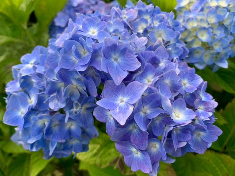 (紫陽花)だんだんと色づき始めました|神河町猪篠