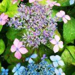 レアな山アジサイも咲き始め。高岡の里「あじさいの小道」に行ってきた。|福崎町