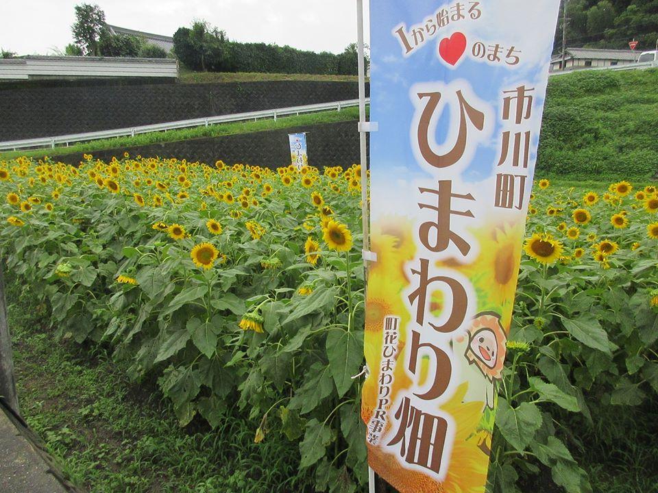 【市川町】ひまわりを見に行こう!町花ひまわり畑が拡大中