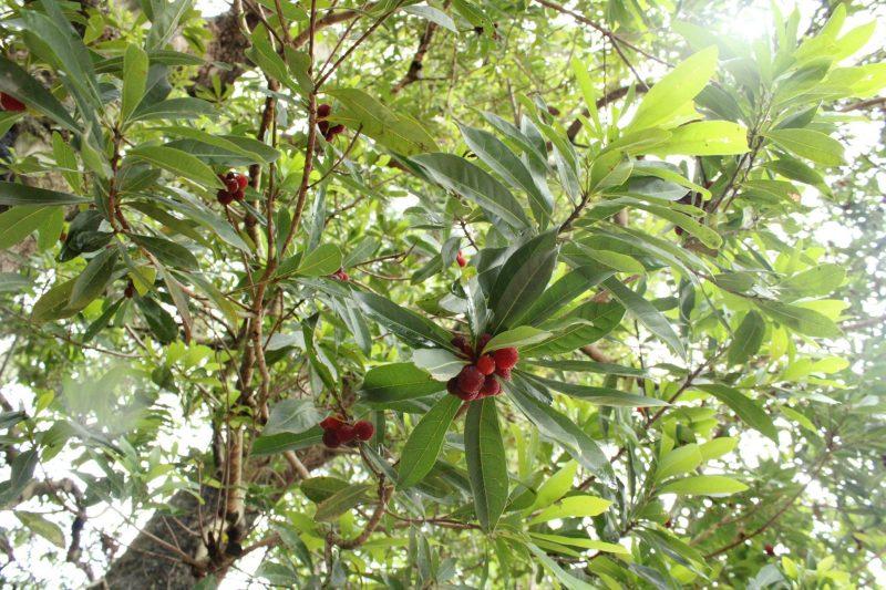 ヤマモモの木の実が色づいています|福崎町観光協会