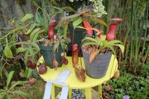 普段は見られない珍しい食虫植物も。食虫植物特別展示 兵庫県立フラワーセンター