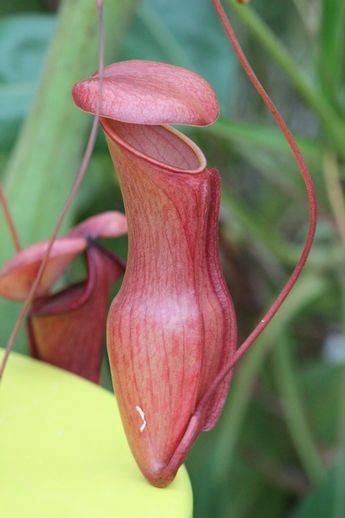 普段は見られない珍しい食虫植物も。食虫植物特別展示|兵庫県立フラワーセンター