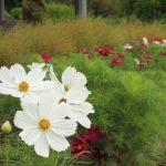 四季の花壇ではコスモスも咲きそろってきています。|兵庫県立フラワーセンター