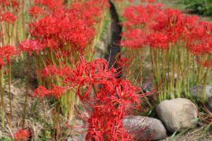 (市川町)彼岸花の季節|あぜ道や水際近くに一斉に