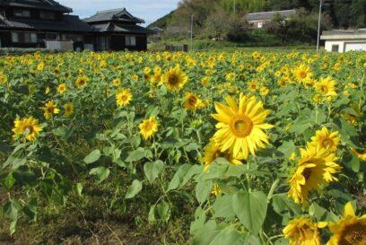 (市川町)浅野区にある国道312号線沿いのひまわり畑が見頃
