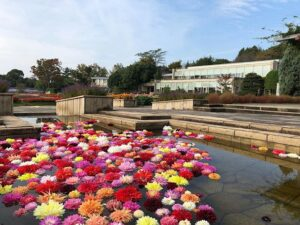 ダリア風呂も花壇のダリアもコンディションばっちり|兵庫県立フラワーセンター