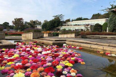ダリア風呂も花壇のダリアもコンディションばっちり 兵庫県立フラワーセンター