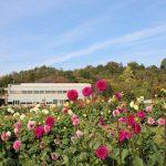 色鮮やかなアマランサス(ハゲイトウ)が見ごろ|兵庫県立フラワーセンター