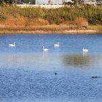 加西市|越冬のためハクチョウが池に飛来