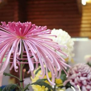 第42回兵庫県連合菊花展覧会の審査が無事終わりました。