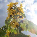市川町|一本からたくさんの開花?|ひまわりスマイルプロジェクト