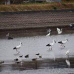 コウノトリが加西市の長蓮寺池(殿原町、越水町)付近に飛来