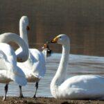 【福崎町】白鳥が飛来|福崎町東中学校ちかくの長池