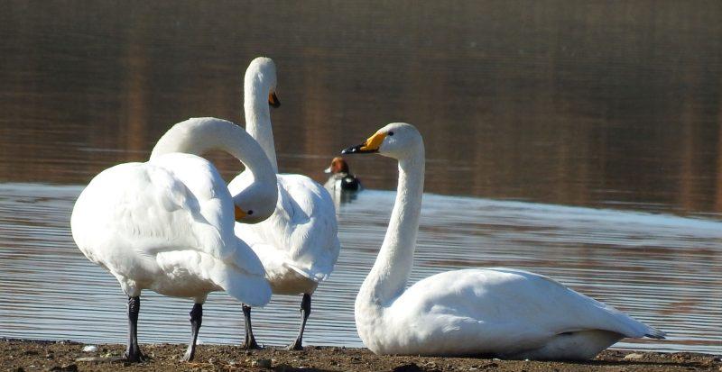 【福崎町】今年も白鳥が飛来|福崎町東中学校ちかくの長池