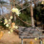 ふれあい花壇では「ソシンロウバイ」が見ごろ|兵庫県立フラワーセンター