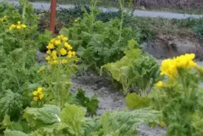 町の駅「花と実りの駅」では菜の花|市川町