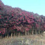 福崎町高岡でおもわず目に止まるサザンカ林(山茶花)